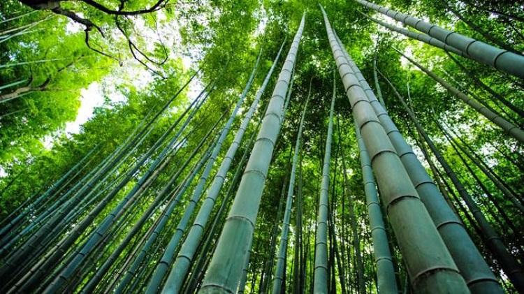 Il bambù per usi in edilizia
