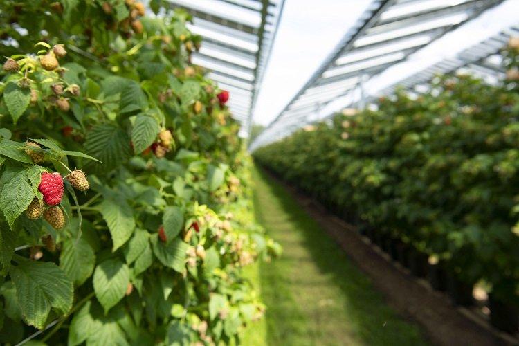 Coltivazioni agri fotovoltaiche