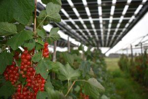 Agro-fotovoltaico: BayWa r.e. completa il primo parco solare con ribes rosso