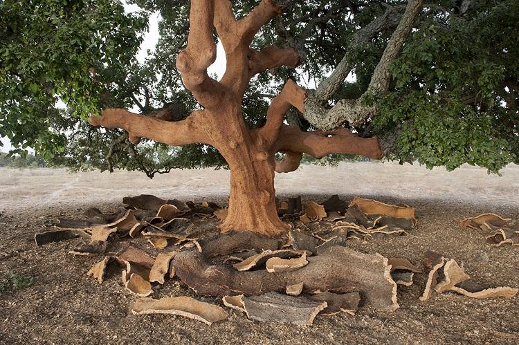 Le sugherete Amorim contribuiscono alla sostenibilità ambientale